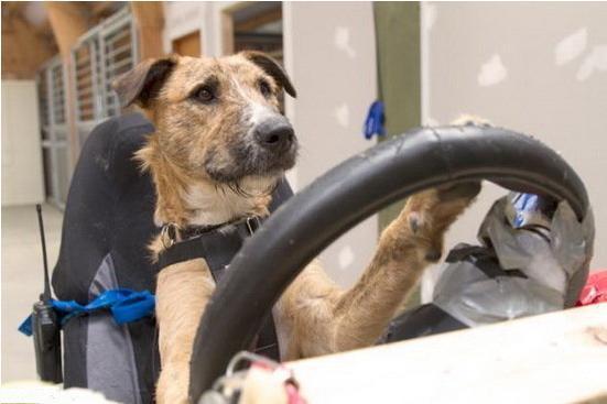 """训练流浪狗驾驶""""迷你汽车""""是为了向公众展示它们是非常聪明的小动物"""